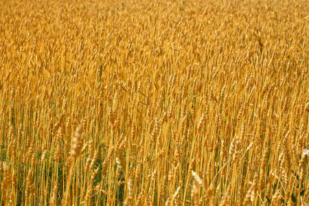 Yellow field with wheat ears on a Sunny summer day. Agricultural land of a farmer. 免版税图像 - 159389847