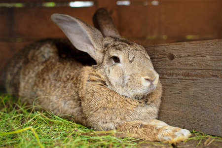 Close-up portrait of an animal. Big rabbit in a wooden cage on the farm. Rabbit breeding and animal care