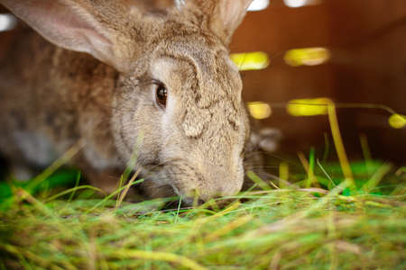 Close-up portrait of an animal. Big rabbit in a wooden cage on the farm. Rabbit breeding and animal care 免版税图像 - 159168026
