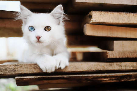 A charming white kitten with heterochromia is sitting on the boards. Unique pet