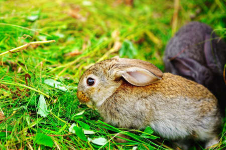 A small bunny eats grass. Portrait of a fluffy and charming pet for a calendar or postcard. Close up