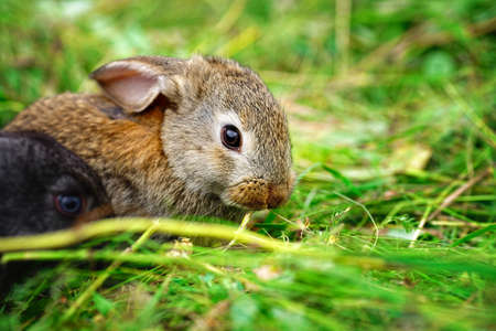 A small rabbit eats grass. Portrait of a fluffy and charming pet for a calendar or postcard. Close up 免版税图像