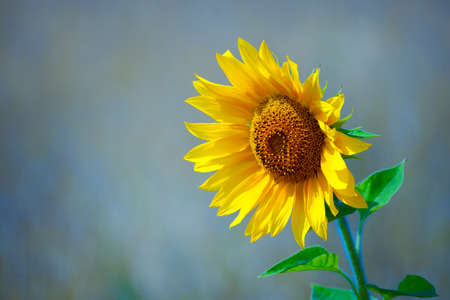 Yellow sunflower stands close-up. Flourishing agriculture. Beautiful background or Wallpaper. 免版税图像