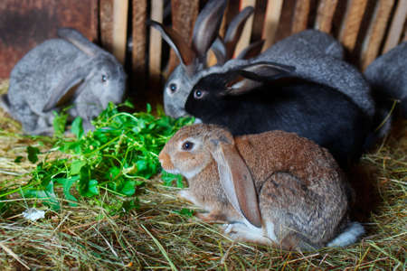 Young rabbits eat green grass in a cage. Rabbit breeding. Growing dietary meat.
