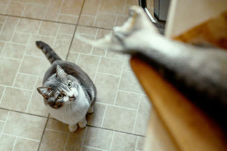 A hungry cat obediently waits for food and looks at the fish's tail on the cutting Board. Look from the bottom up. A pet waiting for a treat in the kitchen. 免版税图像 - 159313856