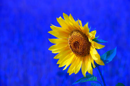 Yellow sunflower on a blue background is a close-up. Flourishing agriculture. Beautiful background or Wallpaper.
