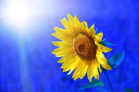 Yellow sunflower on a blue background is a close-up. Flourishing agriculture. Beautiful background or Wallpaper. 免版税图像 - 159472713