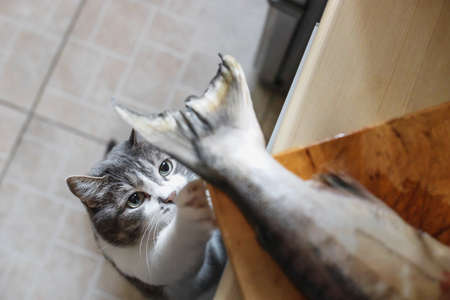 A hungry cat looks at the tail of a fish on the kitchen table. A pet steals food from the table. Cat's delicacy 免版税图像 - 159473111