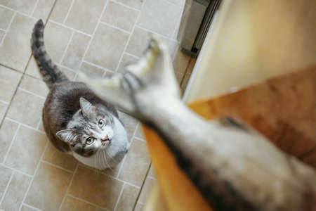 A hungry cat obediently waits for food and looks at the fish's tail on the cutting Board. Look from the bottom up. A pet waiting for a treat in the kitchen. 免版税图像