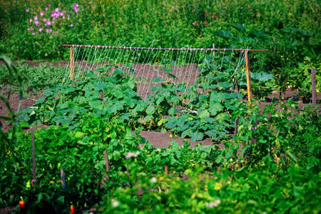 Vegetable garden with growing vegetables. Natural rustic plantation of green vegetable garden on a summer day. 免版税图像