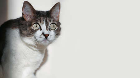 A gray cat with a white chest looks at something with big eyes in surprise. This is a portrait of an interested cat with rounded eyes. 免版税图像