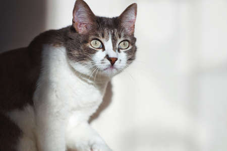 A beautiful well-groomed gray cat looks away with interest. A pet on a light background with space for the design of advertising products.