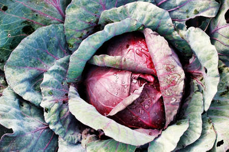 A head of red cabbage grows in the garden. Photo of a vegetable with a top view.