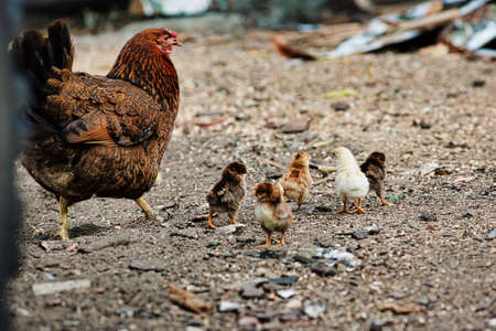 A chicken with small chickens walks in the farmyard. Shooting from a lower angle.