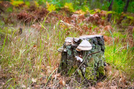 A decrepit stump on the forest edge was overgrown with moss and tinder fungus chaga.