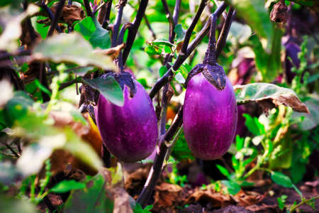Purple eggplant grows in a garden bed. Growing natural vegetables on a farm or farmstead. 免版税图像