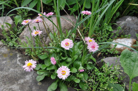 ladys mantle: pink flower and stones in our garden Stock Photo