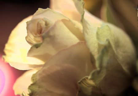 dept: Romantic Rose by Candle light. Soft focus shot with very shallow dept of field.