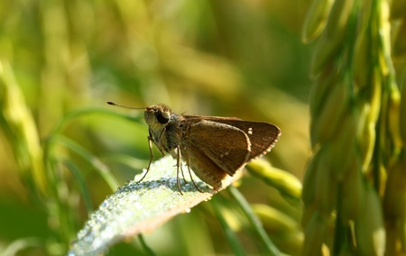 Brown Butterfly among rice Stock Photo - 16160732