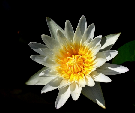 White lotus Stock Photo - 16160706