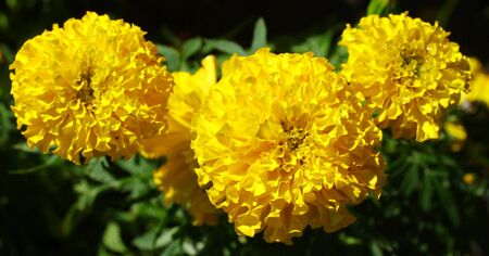 Chrysanthemum Stock Photo - 16661297