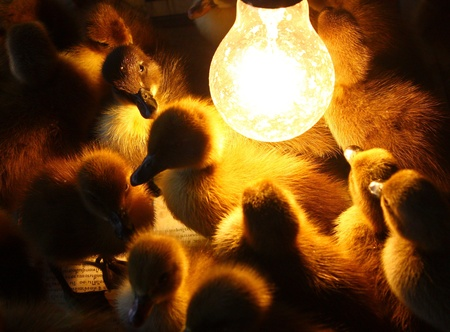 Duckling Stock Photo - 17313184