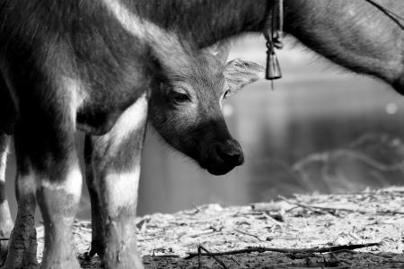 Swamp buffalo Stock Photo - 18630703