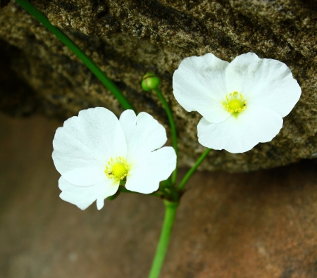 Arrowhead flower photo