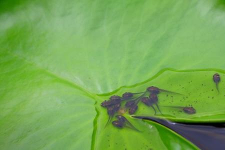 tadpole: Tadpole