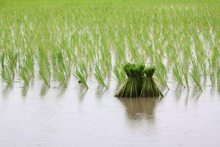 Rice Stock Photo - 21427117