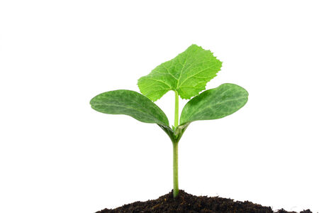 siamensis: Sindora siamensis plant Stock Photo