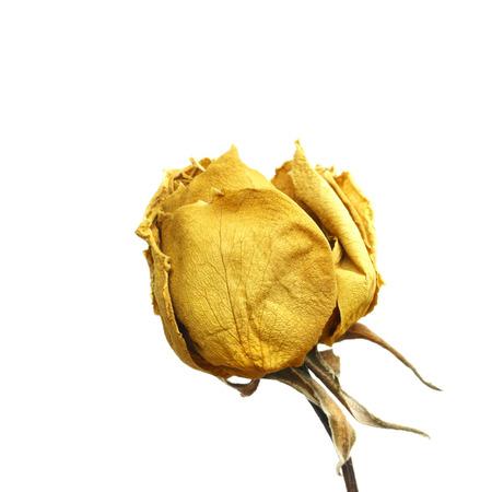 Dried yellow rose Stock Photo
