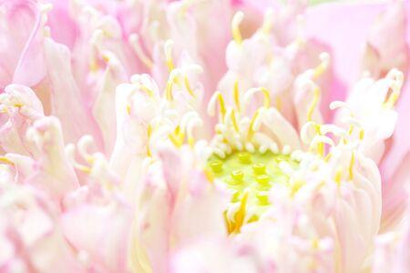 Lotus petals Stock Photo