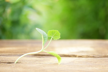 Cucumber growing on wooden table Stock Photo