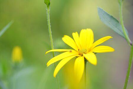 Spider on sunchoke flower Stock Photo