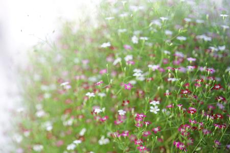 Pink Gypsophila flower Stock Photo