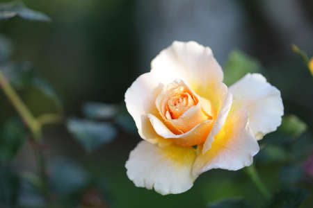 Blooming yellow white rose