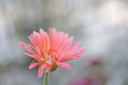 Pink young Gerbera flower Stock Photo