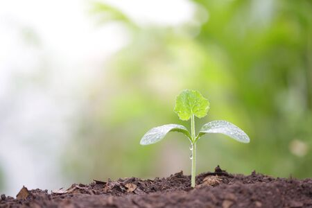 Jonge groene pompoenplant die 's ochtends groeit met dauw