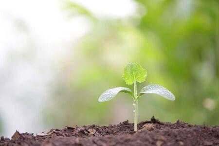 Junge grüne Kürbispflanze wächst morgens mit Tau