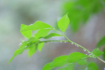 Green leaves with water drop in rainning day
