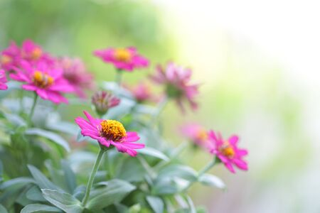Pretty Pink zinnia flower at outdoor
