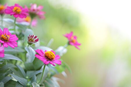 Pretty Pink zinnia flower at outdoor Stockfoto - 131997432
