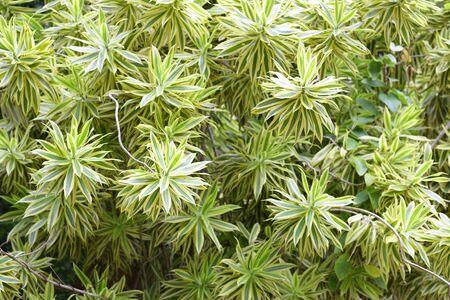 Ribbon dracaena green plant background