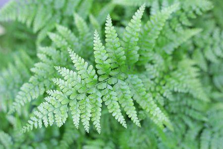 deer foot fern green delicate leaves