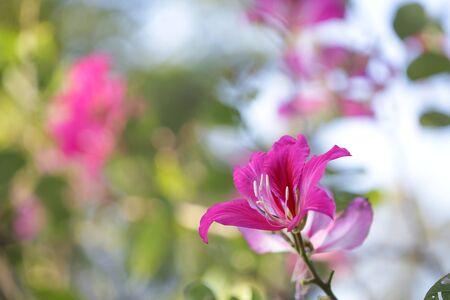 Blooming Purple Bauhinia flower at outdoor