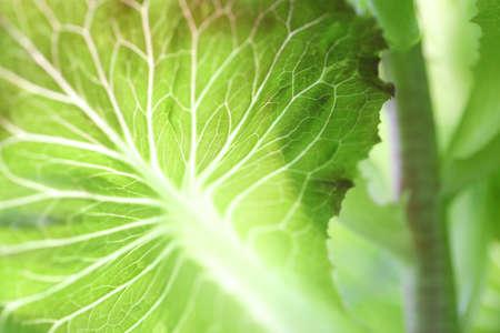 Green lettuce nerve close up