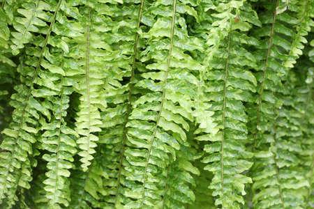 Lush green fern delicate leaves