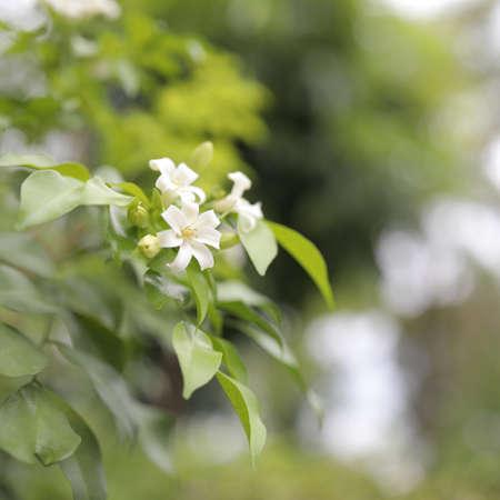 Andaman satinwood delicate white flower