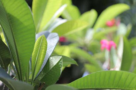 Frangipani green lush leaf under sunlight Banque d'images